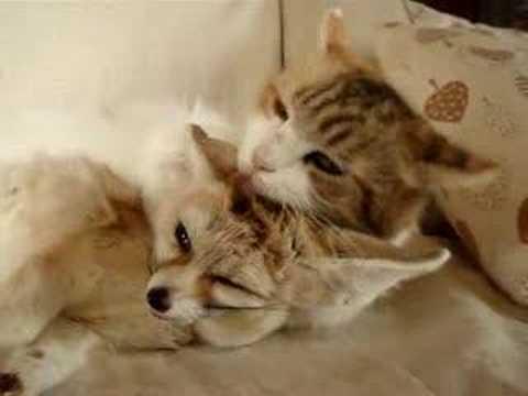 異種愛 可愛い我が子 フェネックのママは猫! video