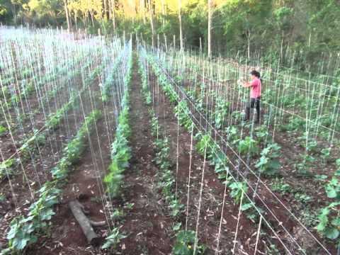 como plantar pepinos para conserva youtube