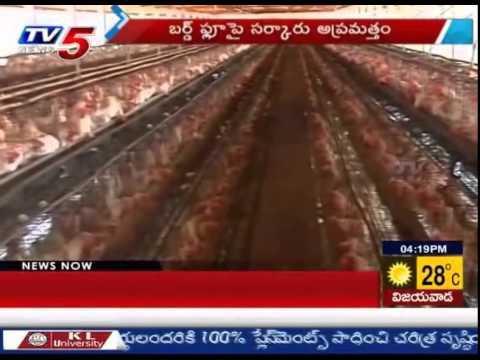 Chicken's Being Killed & Buried to Prevent Bird Flu : TV5 News