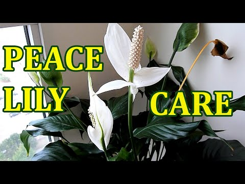 peace lily how to care indoor house plant spathiphyllum best indoor houseplant youtube. Black Bedroom Furniture Sets. Home Design Ideas