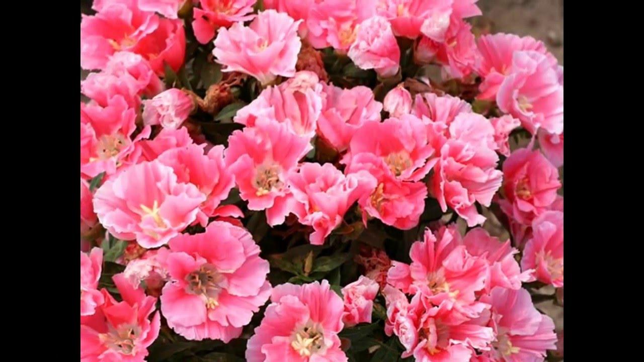 Цветы годеция когда сажать 717