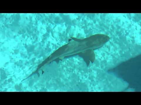 Fakarava Requin pointe noire sous Tyloo
