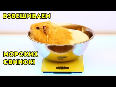 Сколько Весят Наши Морские Свинки / Svinki Show