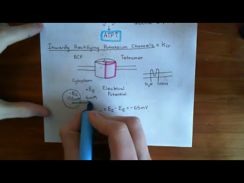 Insulin Synthesis and Secretion Part 3