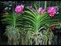 Hoa Phong Lan Vanda - Vườn Lan Tiên Ông