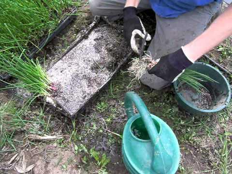 Preparing to Transplant Onions into Plastic Mulch , Part 1