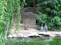 Humboldt penguins chasing a butterfly (higher-quality)