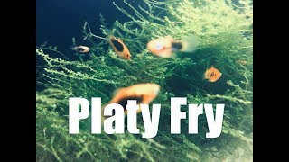 Keeping and Growing Platy Fry