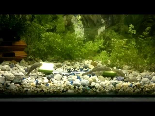 18. Guppy breeding tank