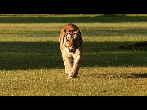 FAQ Friday: Releasing Big Cats Into The Wild