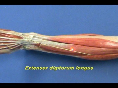 Leg Model - Leg - Anterior Compartment