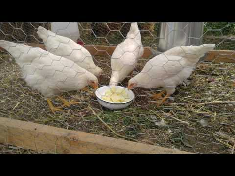 White rock chickens eat cooked potatoes for the first time