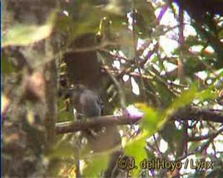 Header of Amazonian antshrike