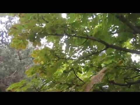 Каштан. Болезни деревьев.