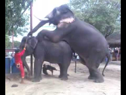 Elephant Mating 4