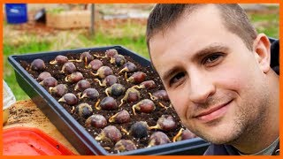 The Amazing Thing About Chestnut Seedlings