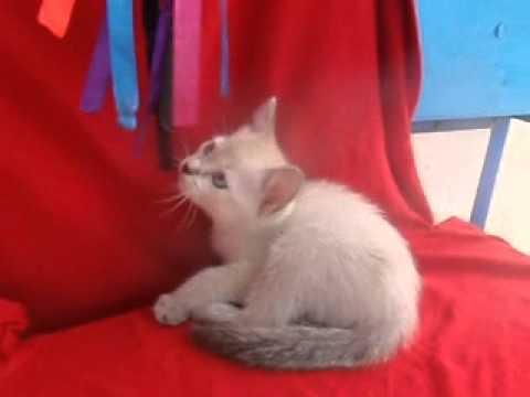 Siamese Kitten For Adoption - 2 Months, Creamy Boy from Rawang, Selangor