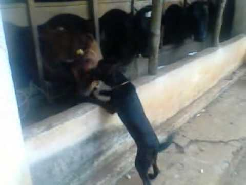 Dog Getting Cow Kisses