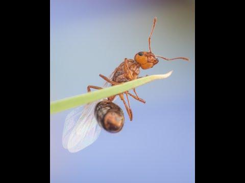 Invasive Species: Fire Ants