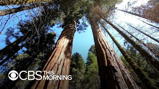 How drought is impacting giant sequoia trees