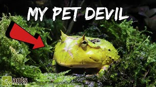 My New Pet Devil (Surinam Horned Frog)