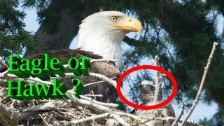 Hawk raised by Eagles - The complete Story