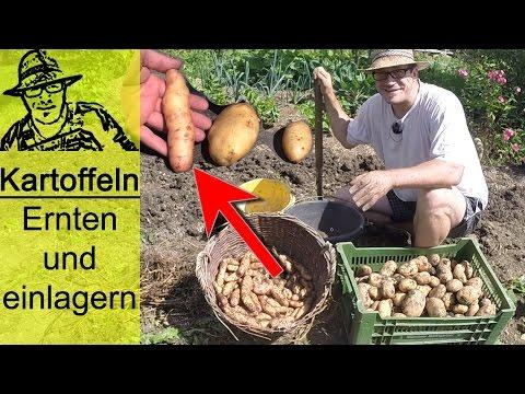 Die unglaubliche Kartoffelernte im Selbstversorgergarten