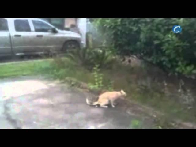 Un gato atrapa en el aire a un pájaro burlón