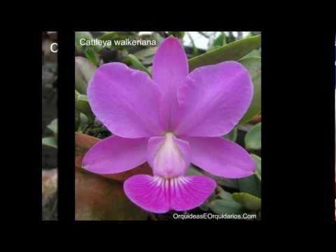 Fotos de orquídeas com nomes   Imagens   Como Cuidar   Cultivar
