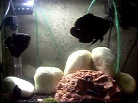 Aquário de Peixes Carnívoros Extremamente Agressivos ( como as piranhas )