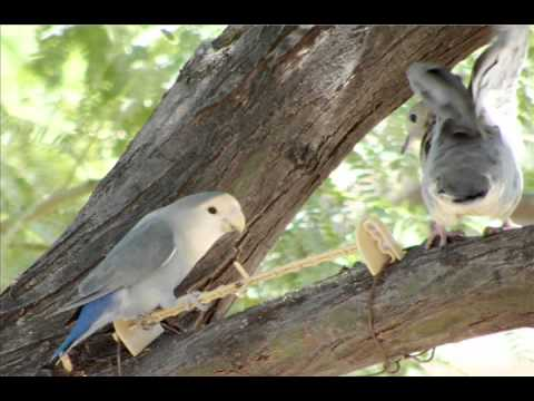 Wild Love Birds In Phoenix, Arizona video