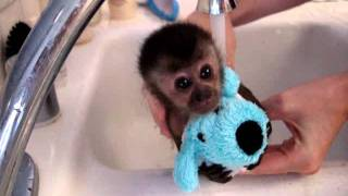 Chimpanzee - baby monkey nala gets a bath