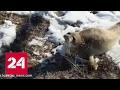 Тюлень в степях Казахстана Детеныш нерпы заблудился в казахстанской степи mp3