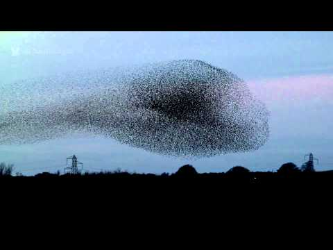 Gretna Green Starling Murmurations