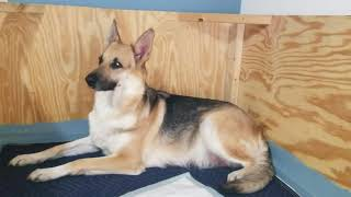 German Shepherd dog in labor and nesting then 6 new puppies