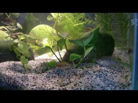 Planted Fluval Edge Jewel Cichlids