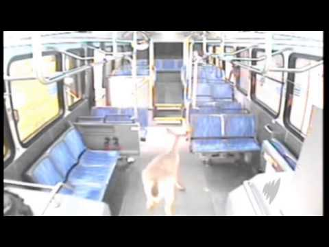 Deer smashes through bus window