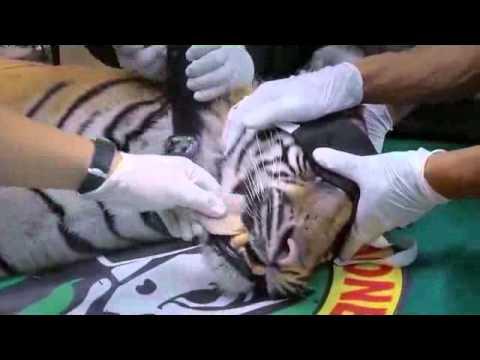 Putri, o tigre da Sumatra, tem um novo lar!