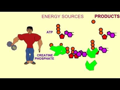 ENERGY SOURCES FOR MUSCLE: ATP, CREATINE PHOSPHATE