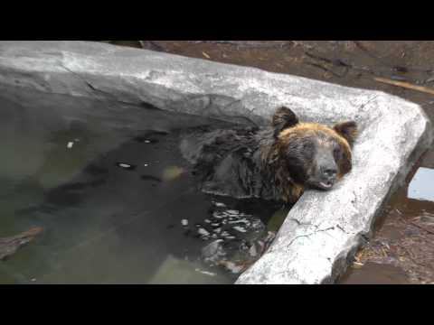 2011年7月4日 旭山動物園 エゾヒグマのくまぞう