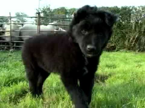 Border Collie Sheepdog & Amazing Cute Puppy Movie Trailer Video