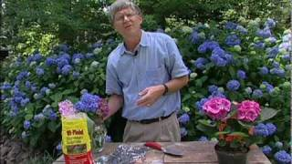How to change the color of hydrangea flowers.