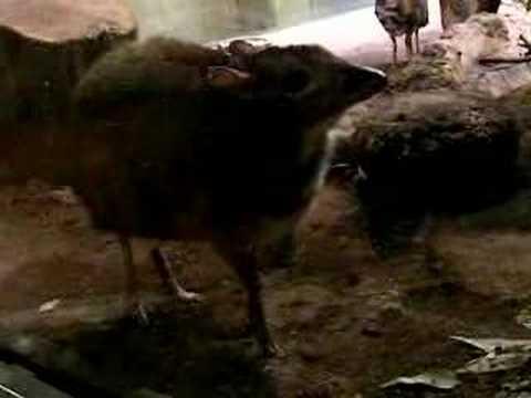 ジャワマメジカ (上野動物園)