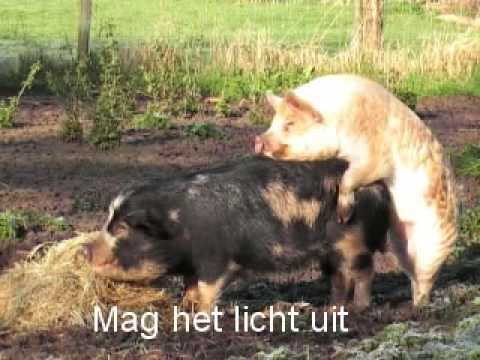 Dekking Kunekune varkens