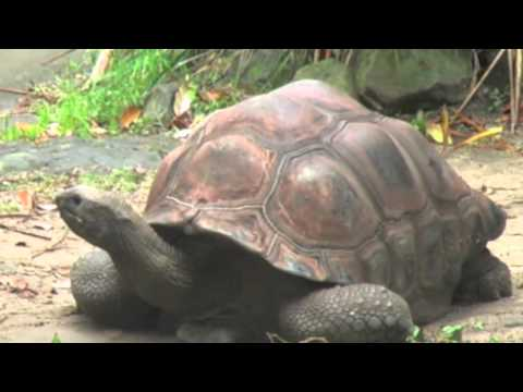 Cute Galapagos giant tortoise eating some lunch