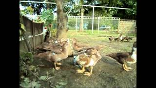 Мускусные утки 2013г.(Muscovy ducks).