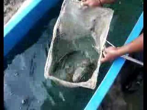 Farming of  marine fish GoldenSnapper-Malaysia aquaculture