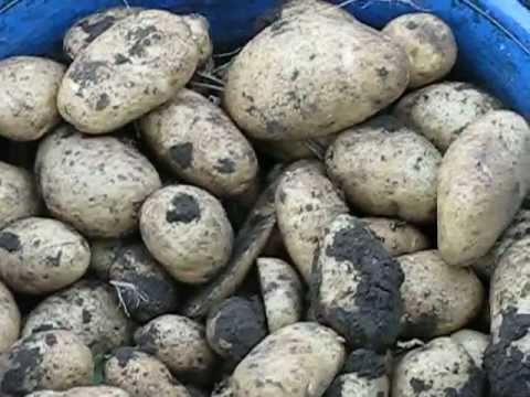 Озимая картошка 2011 год. . m4v