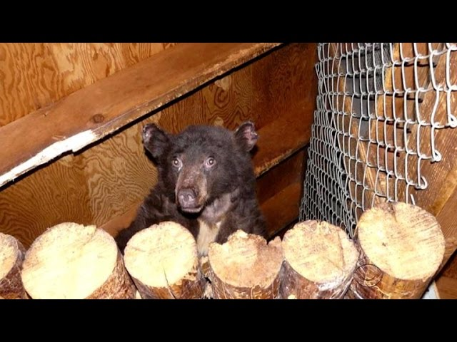Cinder the bear cub gets a second chance