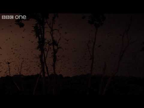 Life - The world's largest gathering of fruit bats - BBC One